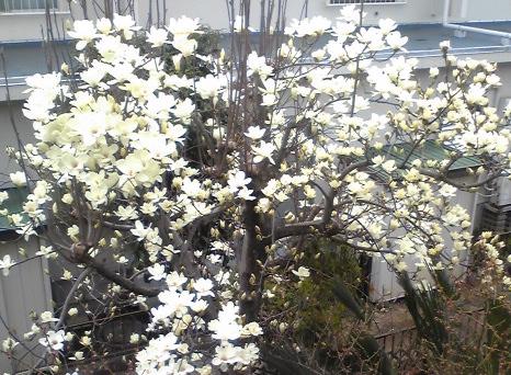 白木蓮ほぼ満開